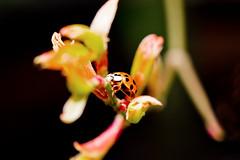 Ladybird on acer (Miche & Jon Rousell) Tags: flowers red black macro green yellow garden ladybird ladybug canonef100mmf28lisusm