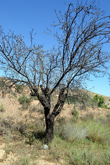 Dead Tree (Alan Gandy) Tags: tree dead spain almond andalucia andalusia almeria