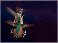 the curtsy (star krek photography) Tags: nature birds nikon duel hummingbirds challenge curtsy sparring d3100