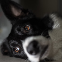Bored Dog (Bas Bloemsaat) Tags: dog border collie bordercollie portrait flash