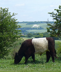 Belted Galloway & White Lion (Tiggrx) Tags: white mammal cow chalk cattle buckinghamshire lion carving figure bucks whipsnade ivinghoebeacon beltedgalloway bostaurus ivinghoehills