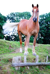Spirit (Bugs Barney) Tags: uk england horse ferry spirit d meadows riding pony chestnut ponies welsh cob section grazing equine gelding