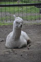 alpaca (melfaise) Tags: alpaca animal alaska digital zoo nikon llama ak fluffy anchorage d90 anchoragezoo nikond90 melaniepezdirtz