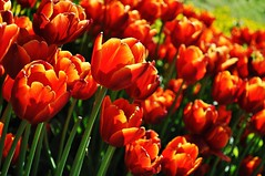 Burning With Love (NATIONAL SUGRAPHIC) Tags: flowers nature spring tulips istanbul iekler skdar doa ilkbahar fethipaakorusu laleler sugraphic