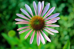 Purple Coneflower (dorameulman) Tags: summer flower landscape us nc northcarolina coneflower inmybackyard nativeplants gastonia dorameulman