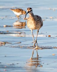 Walkin' (stephencurtin) Tags: ocean california park reflection bird beach water strand bay coast sand long state morro seabird curlew billed thechallengefactory