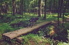 31/52 walk this way (huckleberryblue) Tags: bridge trees summer dog woods gracie hiking hound shade bluetickcoonhound week31 52weeksfordogs
