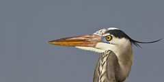 GBH for BEV Header (Dah Professor) Tags: animalportrait photoscape
