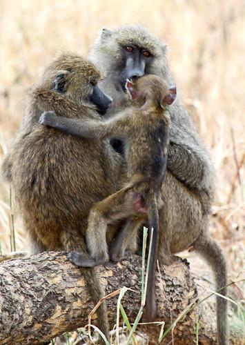Baboon in Tarangire