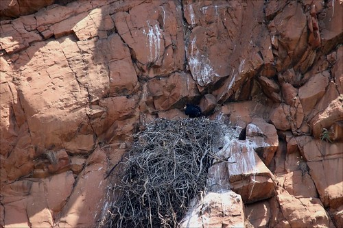 Verreaux's Eagle, Witkruisarend on nest