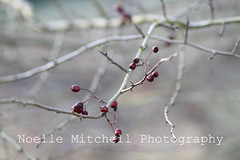 Berry Branches (Noelle Mitchell Photography) Tags: light red brown color tree green texture nature canon photography eos grey berry branch berries background bare branches 7d mitchell stark noelle canoneos foreground treebranch redberry redberries naturephotography naturephoto treeberries canoneos7d mitchellphotography noellemitchellphotography noellemitchell noellephotography canoneos7dphoto naturetreephoto natureberryphoto natureredberry noellemitchellphotographynaturephoto berrybranchesnoellemitchellphotography