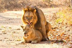 lions mating (Russell Scott Images) Tags: zambiakafuenationalparklionsmating katangalionpantheraleosspbleyenberghi southwestafricanlion russellscottimages