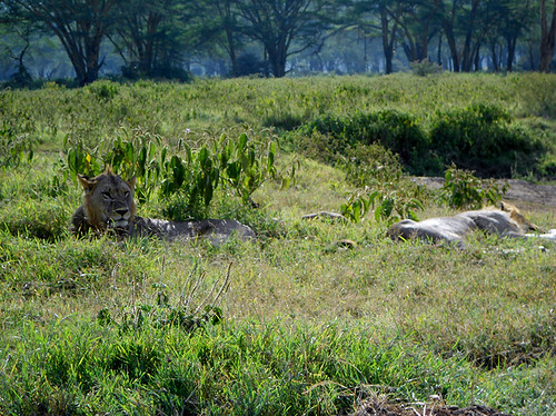 lions Nakuru Park closeup