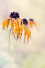 rudbeckia (leavesnbloom photography by Rosie Nixon) Tags: november autumn flower lensbaby perthshire perth rudbeckia leavesnbloom rosienixon