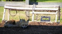 Let sleeping dogs lie (Blue Trail Photography) Tags: canada wildlife maritime fox princeedwardisland pei wildlifewednesday