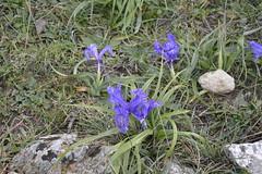 Giaggiolo siciliano - Iris pseudopumila (costagar51) Tags: italy italia natura sicily fiori palermo piante sicilia palazzoadriano bellitalia regionalgeographicsicilia rgsnatura