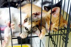 Kittens lying (runslikethewind83) Tags: life november pet cats pets cute animal animals cat eyes kitten pentax kittens malaysia       2013