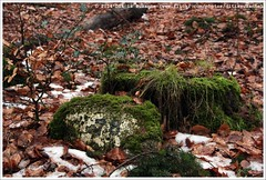 78 (Dit is Suzanne) Tags: winter snow netherlands mos moss walk sneeuw nederland pieterpad number 78 drenthe wandeling schoonloo     cijfer img0078 views150 etappe6   onderweginnederland ontheroadinthenetherlands ditissuzanne canoneos40d   sigma18250mm13563hsm 01022014  schoonlookibbelveen