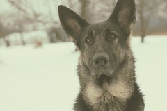 Sn❄w -- Day Three (Signature Move Siberians) Tags: rescue snow black cute silver puppy outside mush tan content explore germanshepherd snowdog temperance gsd germanshepherddog explored seeninexplore