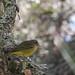 Palm Warbler (Dendroica palmarum)