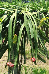 Plenty of Fruit for the Harvest. (Triple_B_Photography) Tags: world travel vacation cactus bali food holiday flower green tourism weather contrast canon garden indonesia asian eos flora asia paradise afternoon vibrant farming harvest warmth location tourist explore delicious coastal journey elements plantation tropical destination indah tropics balinese kerja
