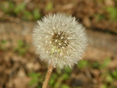 5-1-14 028 (LeeLee's pictures) Tags: 5114 mississippiriver woods nature dandelions yellow flower wildflower weeds makeawish white flyaway