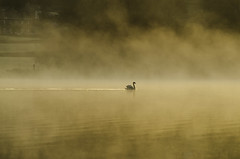 A swan glides through the early morning mist at Esthwaite Water (kidda63) Tags: