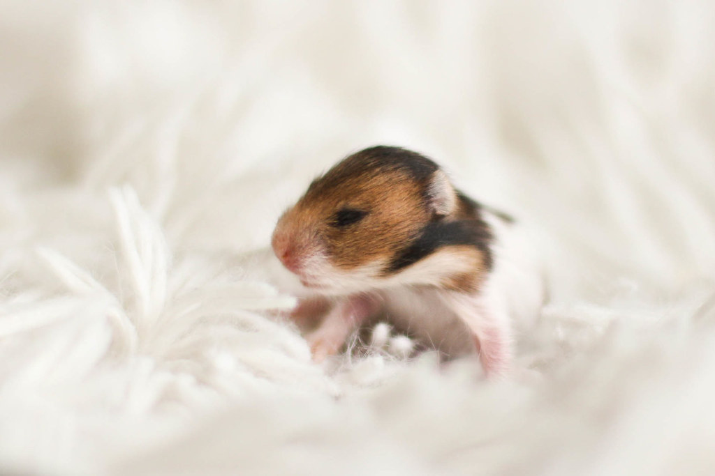 hamster research paper Writework is the biggest source online where you can find thousands of free school & college essays, research & term papers, book reports in over 190 categories.