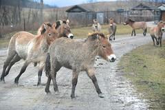 Przewalski's Wild Horses (Sarah Hina) Tags: ohio wild horses wilds przewalskis