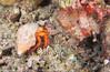 Dardanus megistos - bernard l'ermite à points blancs - White spotted Hermit Crab 01.jpg