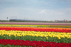 Eurostar 4014 Hillegom (Maarten Otto) Tags: flowers field bulb eurostar ns international bloemen bollen trein hispeed bloem benelux thalys fyra internationaal hillegom