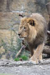 Walking Mbali (Cloudtail the Snow Leopard) Tags: male animal cat mammal zoo big feline leo lion basel katze tier lwe panthera raubkatze sugetier mbali groskatze