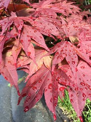 Rain-washed (jchants) Tags: japanesemaple tree raindrops droplets red leaves