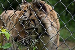 IMG_8249 (whereisjulie?) Tags: cougar ocelot serval caracal kinkajou