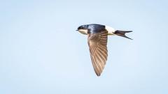 House Martin (rstewartb) Tags: people nature birds fauna scotland photographer unitedkingdom gb monkton housemartin rjns ungroupedbirds