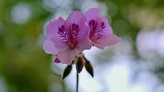 purple bokeh (S.A.photos) Tags: light flower macro nature nikon dof purple bokeh depthoffield nikkor d3200