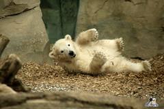 Eisbr Lilli im Zoo Bremerhaven 30.04.2016 Teil 2  02 (Fruehlingsstern) Tags: sunset sonnenuntergang polarbear lloyd lili bremerhaven zooammeer valeska eisbr canoneos750 tamron16300