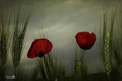Amapolas - Poppies (MarcialCG) Tags: flowers red naturaleza flores verde green texture textura nature rojo wheat poppies trigo amapolas amapola