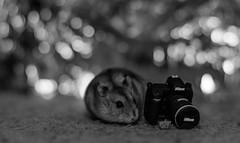 smells bokeh for me (dn_o) Tags: blackandwhite pet pets monochrome rodent dof bokeh hamster monochrom petportrait dwarfhamster petphotography nikonphotography nikoneurope iamnikon nikond610 nikonlifeeu