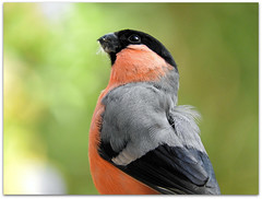 The sparrowhawk's back again! (macfudge1UK) Tags: uk greatbritain england male bird nature fauna spring nikon europe wildlife ngc natur finch npc gb coolpix bullfinch pyrrhulapyrrhula oxfordshire avian oxon 2016 britishbirds britishbird bbcspringwatch allrightsreserved goldwildlife p610 rspbamberstatus nikoncoolpixp610 coolpixp610