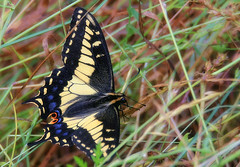Alighting in the grass (TJ Gehling) Tags: butterfly insect lepidoptera elcerrito swallowtail swallowtailbutterfly papilio papilionidae aniseswallowtail papiliozelicaon canyontrailpark