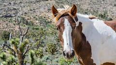 "Nye County ""neigh"" bor (Francisca Vega Weber) Tags: spring nevada mojavedesert wildhorse pahrump nyecounty nikond5200 nikkor50mm118g"