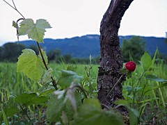 Without the bitter, the sweet isn't as sweet (I'm_alfy) Tags: red mountains nature landscape strawberry grapevine