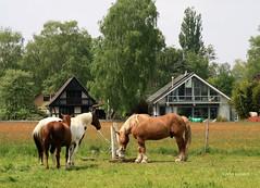 19-IMG_1888 (hemingwayfoto) Tags: architektur blhen gebude gras grasblte grosenheidorn haustier landschaft modern natur norddeutschland ostufer pferd regionhannover steinhudermeer wiese