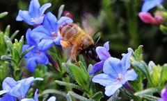 Bee (Hugo von Schreck) Tags: macro bee makro biene onlythebestofnature tamron28300mmf3563divcpzda010 canoneos5dsr hugovonschreck