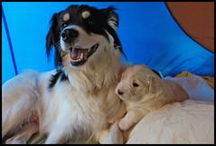 THE LUCK TO HAVE PUPPIES (LitterART) Tags: dog chien dogs puppy sterreich pups puppies sony hund bordercollie hunde steiermark chiens welpen jungehunde rx100 hundebabies hundebaby halfbreeds mischlinge hundenachwuchs philette