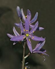 Common Camas (Camassia quamash) (Ron Wolf) Tags: california flower macro nature sierra wildflower camassiaquamash tahoenationalforest asparagaceae camaslily commoncamas yubapass