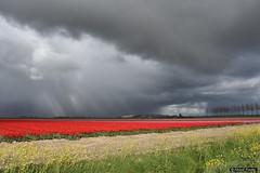 2016-04 Weer kleur met tulpen in het landschap - maar ook wolken (Stellendam/NL) (Meteo Hellevoetsluis) Tags: flowers holland netherlands clouds flora tulips nederland natuur april bulbs nl bloemen stellendam goeree meteo specials tulpen zuidholland 2016 0424 tulpenvelden bewolking bollenteelt collecties nikond7200 mnd04 lenteseizoen