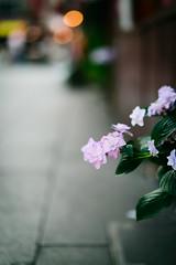 Closing Time (H.H. Mahal Alysheba) Tags: street flower shop tokyo nikon snapshot hydrangea nikkor afs shitamachi shibamata d800 85mmf18