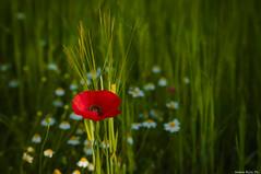 Solitario ma non troppo.. (natale.riili) Tags: verde poppy rosso margherite papavero